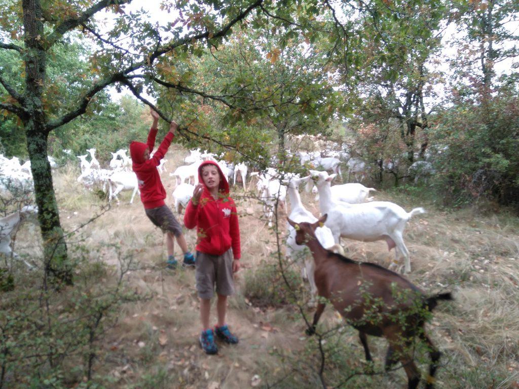 Gardiennage chèvres